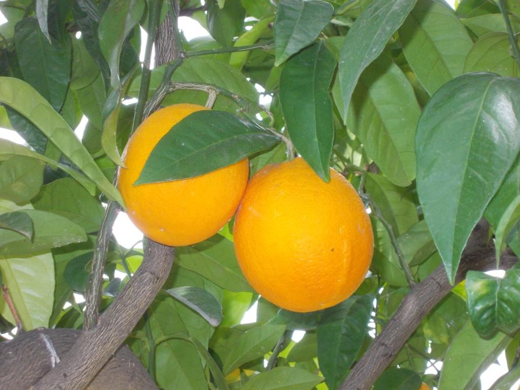 L'arancia di San giuseppe
