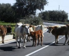 """Alto l'impegno della Prefettura di Reggio contro le """"vacche sacre"""""""