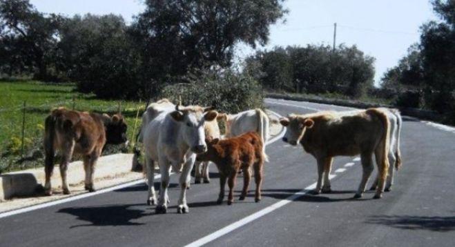 vacche-sacre