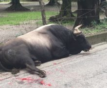 Rizziconi, incidente con un toro, macchina distrutta