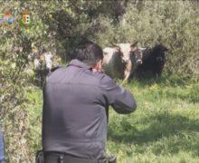 Reggio, riunione in prefettura per fare il punto sul contrasto alle vacche sacre