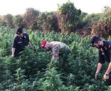 Arrestate 2 persone nella Piana per coltivazione illegale di Canapa Indiana