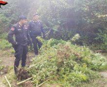 Taurianova, due arresti per coltivazione di piante di marijuana
