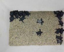 Gioia Tauro, salvataggio esemplari appena nati di tartaruga marina