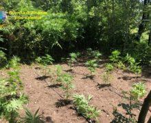 Fabrizia VV, lotta al traffico di stupefacenti-la guardia di finanza scopre 5 piantagioni di canapa indiana e distrugge 268 piante