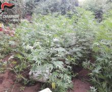 Cittanova, tre arresti per coltivazione di piante di marijuana