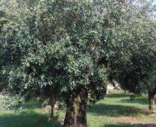 Calabria, frodi olio: bene i controlli dei Nas per tutelare le aziende serie. Di grande attualità la Legge di riforma dei reati agroalimentari