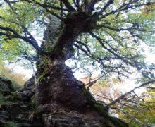 Nel Parco dell'Aspromonte vive una delle querce più vecchie del mondo