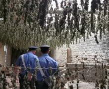 Taurianova, Capannone industriale abbandonato adibito ad essiccatoio di marjuana: 7000 piante sequestrate(VIDEO)