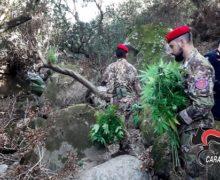 Droga a San Luca: I Carabinieri scoprono altre piantagioni