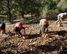 """Coldiretti Calabria: sono arrivate le prime castagne raccolto e qualità in aumento dopo gli """"anni bui"""" del cinipide galligeno – Le testimonianze dei castanicoltori"""