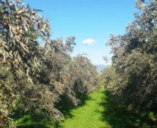 Coldiretti Calabria, è la giornata ulivi Unesco in Calabria 25milioni di piante: un tesoro di biodiversità. La crisi delle vendite per i ristoranti chiusi ma le famiglie aiutano i consumi