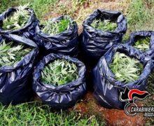 Palmi, operazione Dionisio 6 arresti e un obbligo di pres. alla P.G. per coltivazione e commercio di droga (VIDEO)