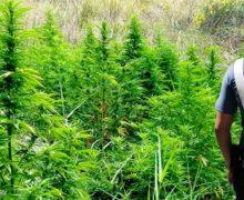 Bovalino, scoperte tre piantagioni di canapa indiana, due arresti