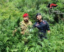 Gioia Tauro. Numerosi i rinvenimenti di piantagioni di canapa Indaca dei carabinieri: Un arresto