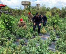 Rizziconi, i Carabinieri sequestrano 2500 piante di Marjiuana: Arrestati tre sogetti