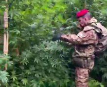 Roccella Jonica. Rinvenuta dai carabiniri una piantagione di cannabis: circa 800 piante