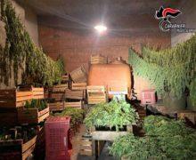 """Taurianova (RC) –  Autorizzati a coltivare Canapa sativa legale, ne raccolgono """"erba"""" illegale. Due coltivatori denunciati."""